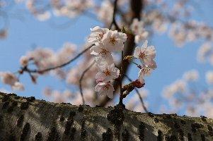 4.6桜2.jpg