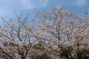 4.6桜1.jpg