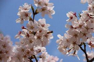4.6桜3.jpg